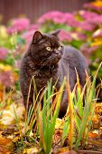 stock photo of portrait british shorthair cat  - brown british shorthair purebred cat walking outdoors - JPG