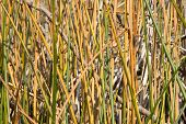 stock photo of bulrushes  - Natural texture - JPG