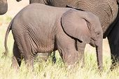 stock photo of calf  - Small elephant calf play in long green grass and having a lot of fun - JPG