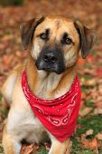 stock photo of boxers  - Handsome large mixed Boxer Retreiver Sheppard breed dog sitting on an autumn background of fallen leaves - JPG