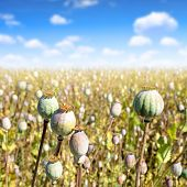 pic of opiate  - Poppy heads in field on sunny day - JPG