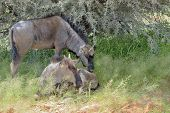 stock photo of wildebeest  - Two blue Wildebeest calves hiding from the sun in the Kgalagadi Transfrontier Park - JPG