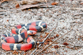 stock photo of coil  - A Scarlet Kingsnake coiled on the ground - JPG