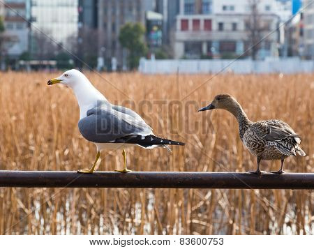 Duck And Gull Craned Their Necks