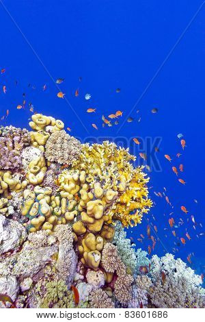 coral reef with fire corals and exotic fishes anthias at the bottom of tropical sea