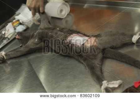 Animal Surgery, Cat Under Anesthesia Post  Sterilization Operation