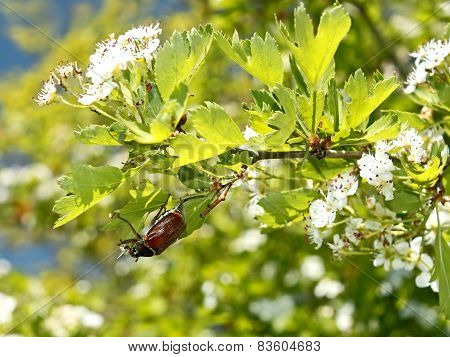 Chafer Beetle On Flowering Hawthorn Tree