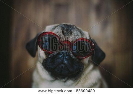 Pug Puppy In Sunglasses