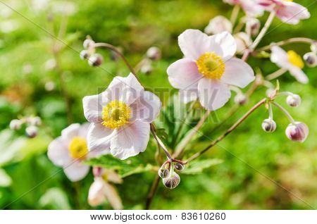 Anemone Japonica Flowers, Lit By Sunlight In The Garden.