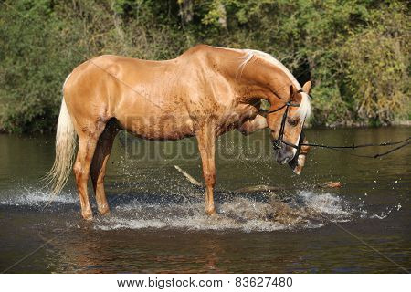 Nice Palomino Warmblood Playing In The Water