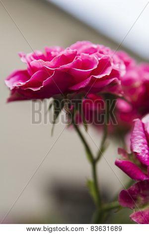 inflorescence pink shrub roses