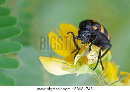 blister beetle and yellow flower