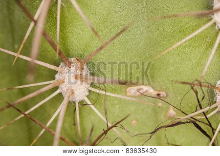 Cactus Spines Background
