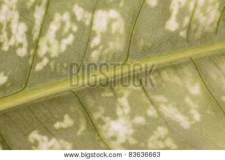 Leaf Close-up Background