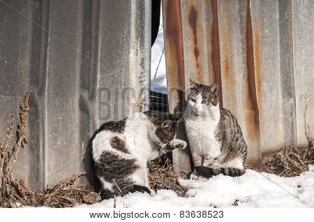 Street cats on grunge tin wall
