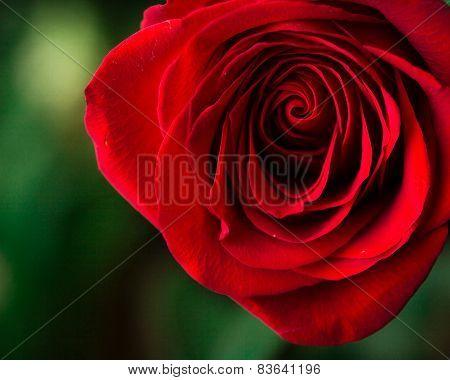 Soft natural light falling onto a velvet blood-red Valentine rose