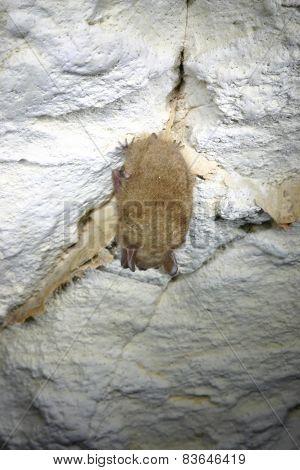 Innerspace Eastern Pipistrelle Bat