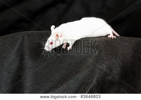 White mouse with red eyes on black fabric