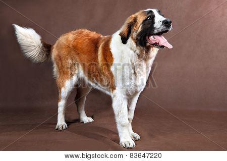 Long-haired Saint Bernard Dog, Posing For Photograph Standing In Studio.