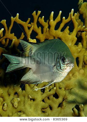 Pale Damselfish On A Coral Reef