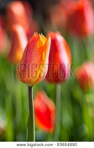 Tulips Blooming In Flowerbed