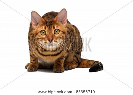Bengal Cat  Crouched