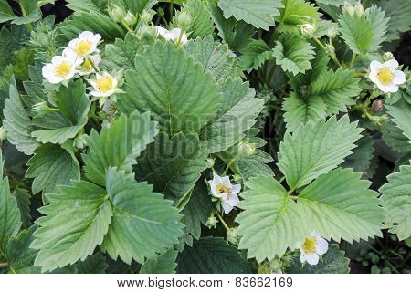 The strawberry blossoms