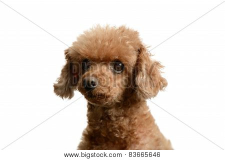 Portrait Of Poodle Staring Forward