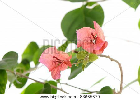 Closeup Of Red Bougainvillea Flowers