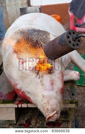Hair Removal Of The Pig