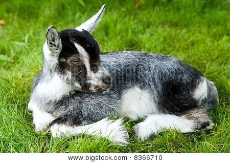 Black White Goatling On Green Grass