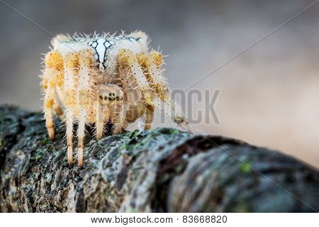 Spider on a branch, waiting to hunt