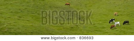 Cows in an alpine pasture