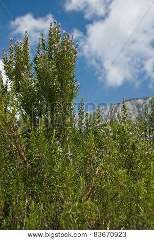 Olive Trees - Croatia