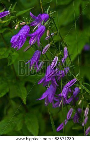 Beautiful wild mountain purple flower in forest shadow