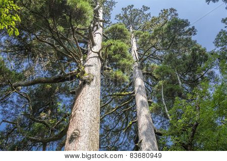 Large japanese cedar trees
