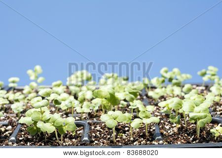 Chinese cabbage sprout