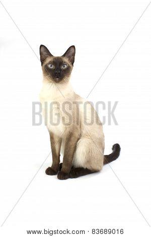 Thai Cat, Traditional Siamese Cat On White Backrgound