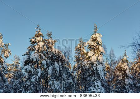 The Trees Covered With Snow