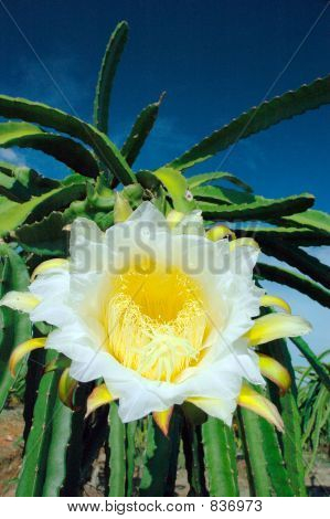 dragonfruitflower