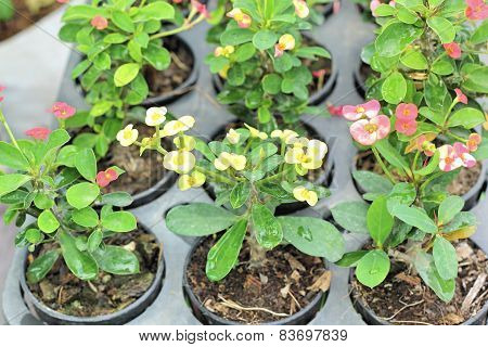 Euphorbia Milli Flowers In The Nature