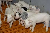 foto of pig  - Pigs reared in large scale firm keeping - JPG