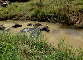 picture of carabao  - Buffalo relaxing in a bath in water canal - JPG
