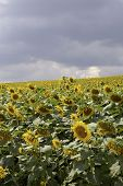 pic of heliotrope  - a cultivated flowering sunflower field - JPG