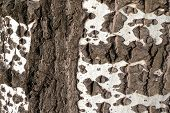 picture of white bark  - White birch bark as a background texture - JPG