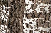 image of white bark  - White birch bark as a background texture - JPG