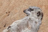 foto of meerkats  - Portrait of young meerkat on the stones  - JPG