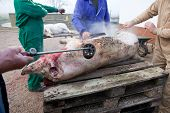 pic of slaughter  - Hair removal of the pig with blowtorch - JPG