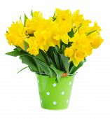 pic of easter lily  - bunch of fresh spring yellow daffodils  and tulips in green pot isolated on white background - JPG