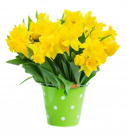 stock photo of daffodils  - bunch of fresh spring yellow daffodils  and tulips in green pot isolated on white background - JPG
